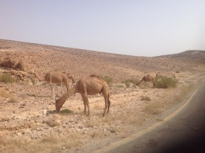 Camels Grazing Along the Side of the Road